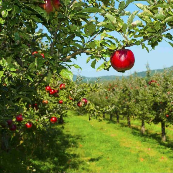 Londonderry Apple Orchard